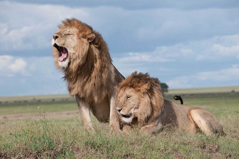 leones peligrosos respuesta al peligro
